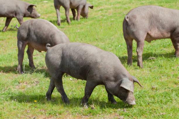 pigs extramadura